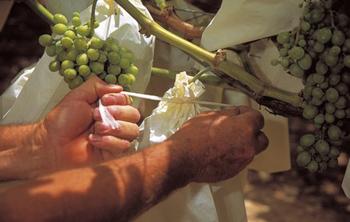 Uvas embolsadas de Vinalopo, Alicante, España. Foto: Uva-Vinalopó